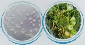 多粘类芽孢杆菌—细菌性土传病害克星