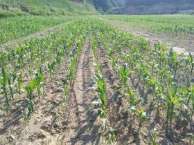 农户玉米地