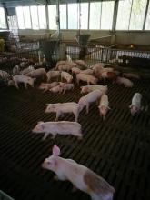 生猪养殖场